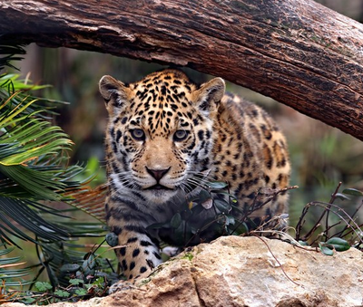 Jaguar Heredia Costa Rica Rain Forest
