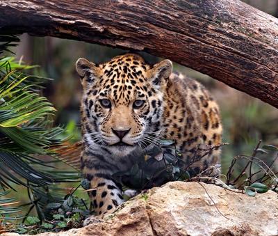 Jaguar Heredia Costa Rica Rain Forest