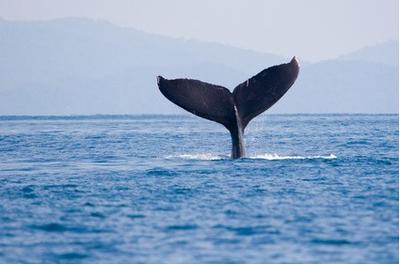 puntarenas whale